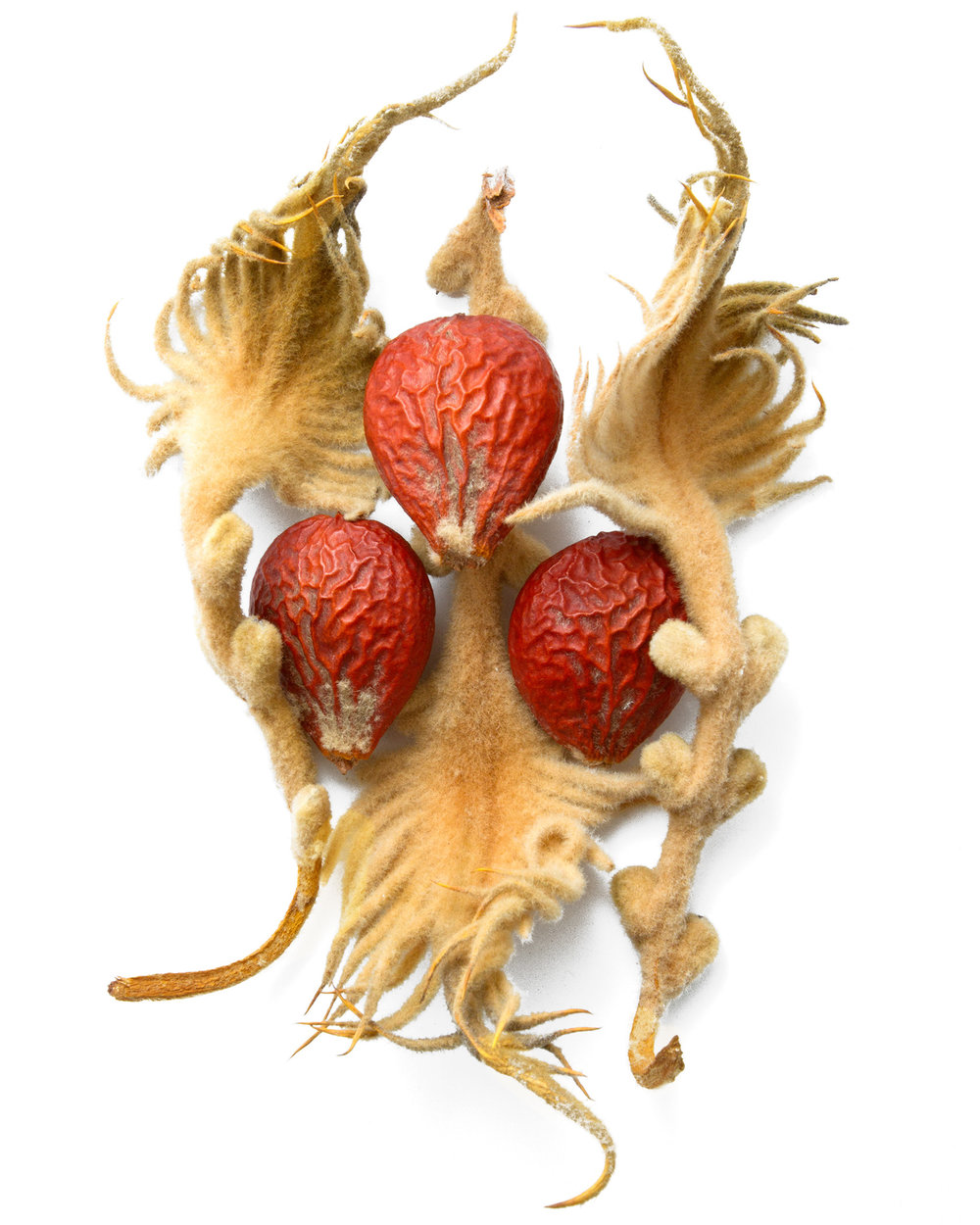 Cycas cyrinalis.jpg