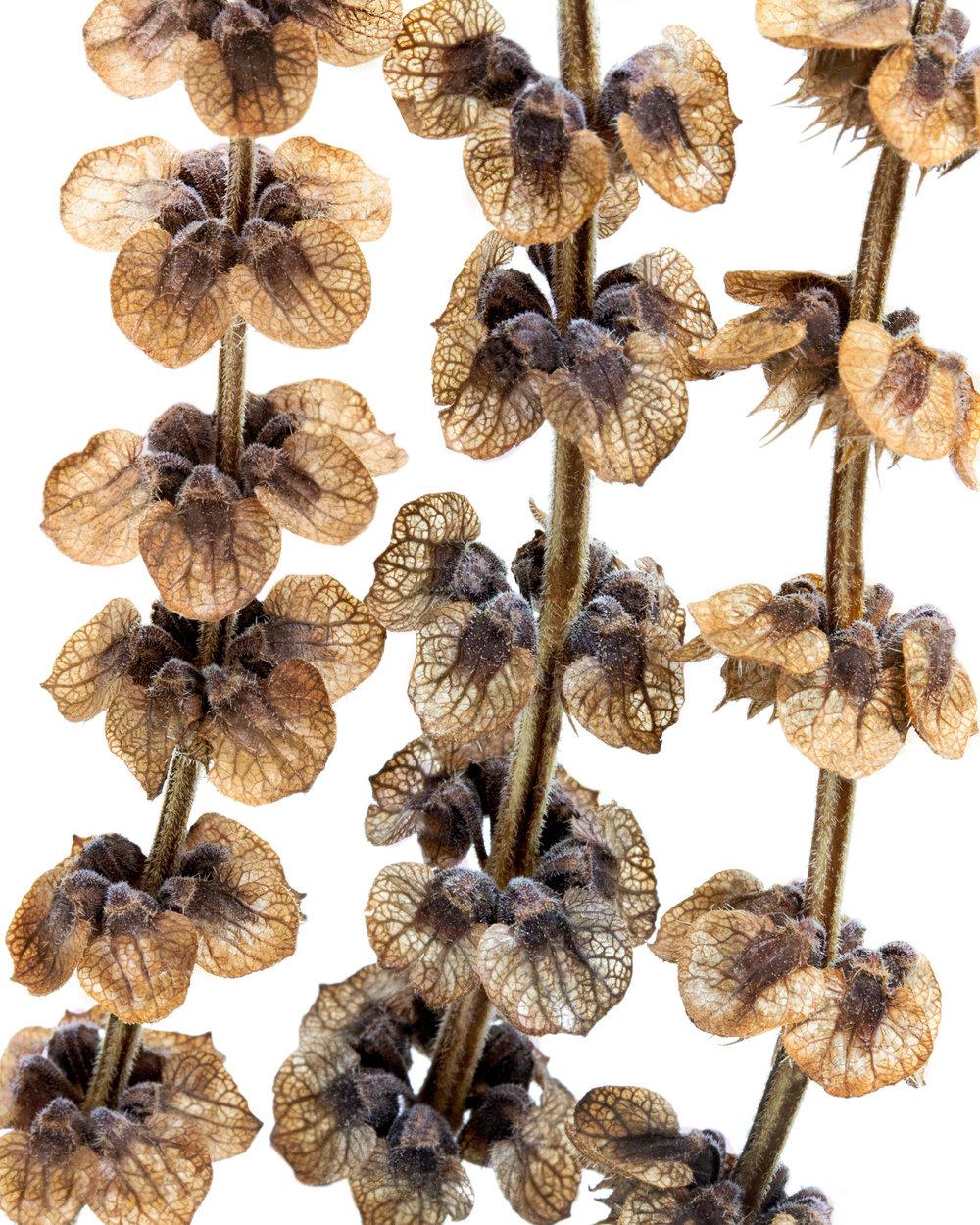 Ocimum basilicum.jpg