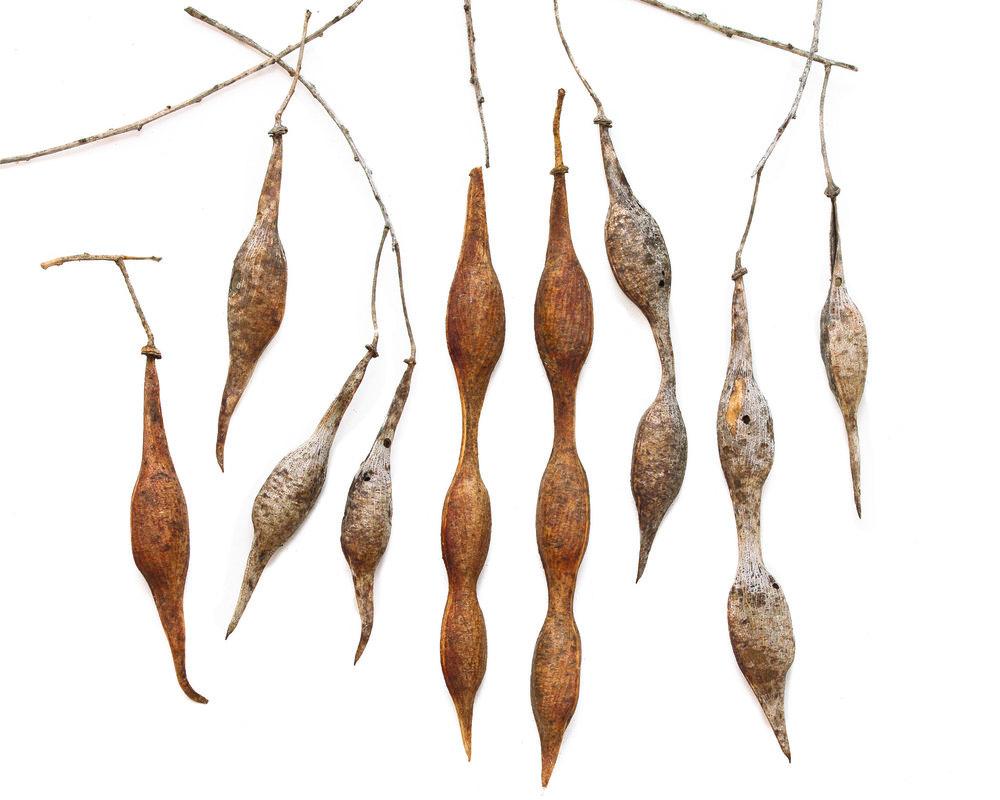 Parkinsonia microphylla.jpg