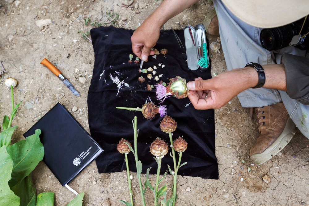 There are efforts to preserve and document the region's threatened botanic diversity. In collaboration with the Royal Botanic Garden at Edinburgh, scientists at Nature Iraq, a local environmental group, collect specimens for the forthcoming Flora of Iraq, a comprehensive guide to regional plants. A botanist with Nature Iraq dissects  Centaurea regia , a native thistle, collected in the Qara Dagh mountains.