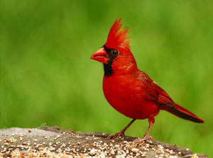 The WV State Bird, the Cardinal
