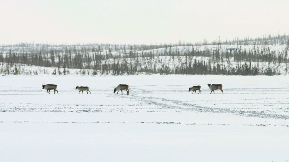 The remaining members of the caribou herd continue on their path.