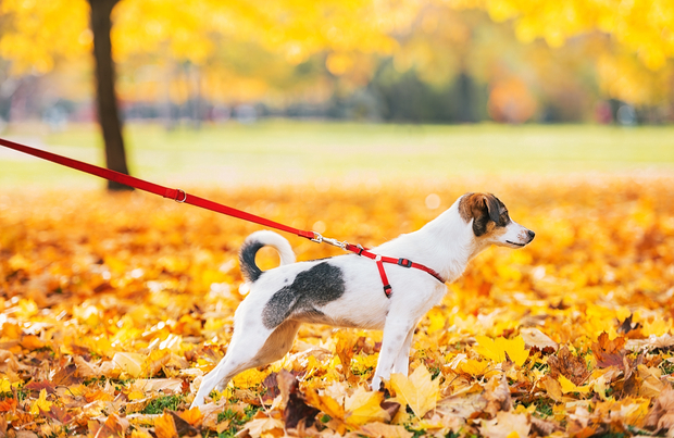 dog-walking-mistakes-tight-leash-x-620-403x.jpg
