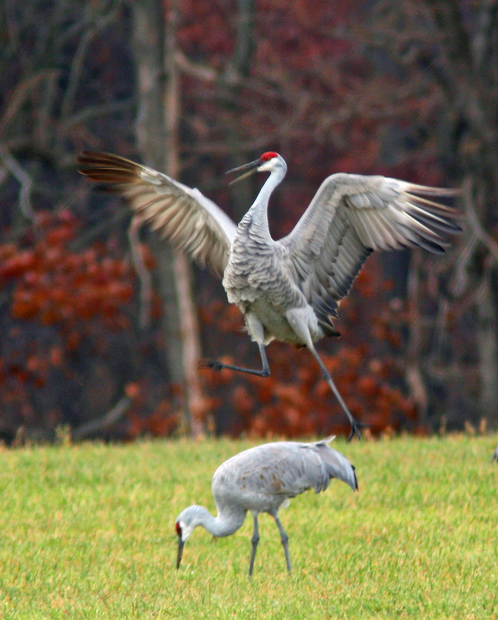 Sandhill crane recovery - Sandhill cranes are synonymous with the Waterloo Recreation Area. A familiar sight and sound in the area, it's hard to imagine these majestic birds once nearly disappeared from the landscape. According to the Michigan DNR, only nine cranes were found in the nearby Phyllis Haehnle Memorial Michigan Audubon Society Sanctuary in 1949. Today they number in the thousands, and we can largely attribute their recovery to a piece of legislation 100 years old: the Migratory Bird Treaty Act.