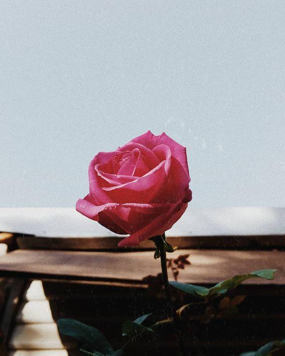 Rose Flower Essence Hayley Gemma