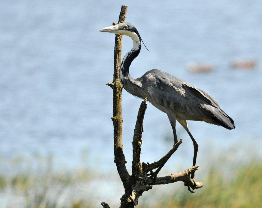 86-black-headed-heron-ardea-melanocephala-dave-rimmer.jpg