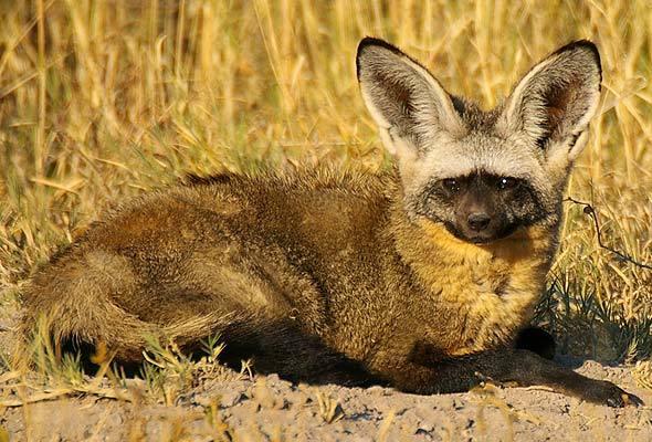 1-bat-eared-fox-590a.jpg