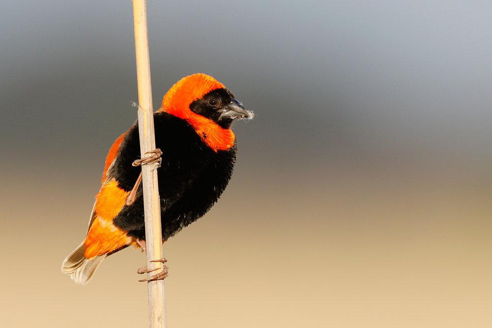 Red-Bishop-Marievale-Bird-Sanctuary-South-Africa-21-November-2014-BEST-SMH.jpg