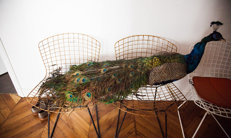 bertoia chairs and a peacock