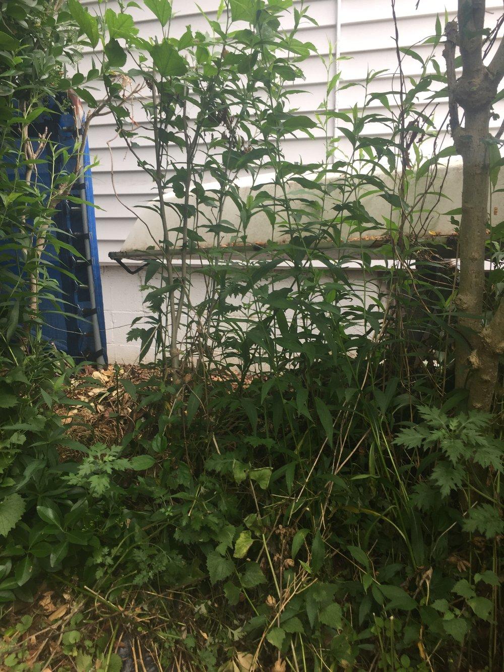 weeds in the yard.jpg