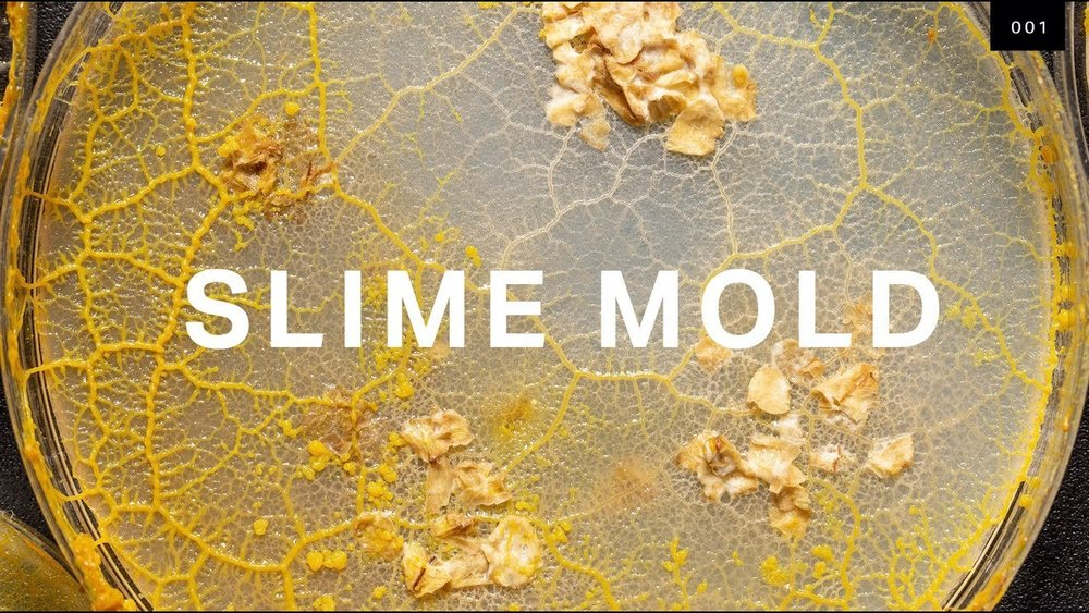 Slime Mold (DP)