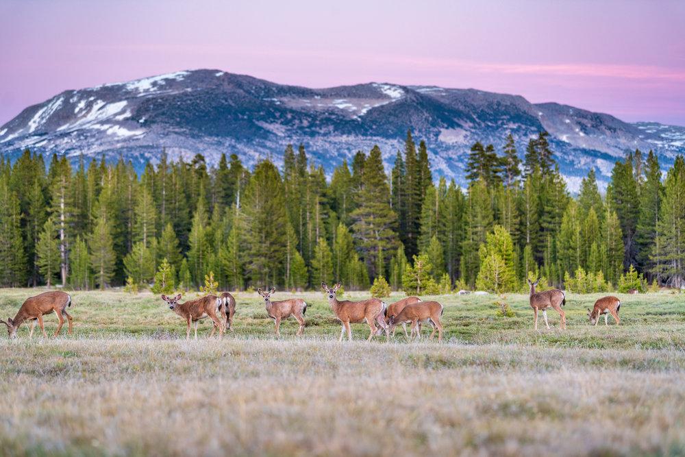 Herd of deer at Tuolumne Meadows