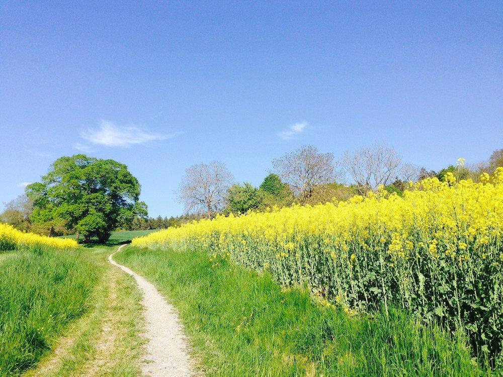 field-of-rapeseeds-331571_1920.jpg