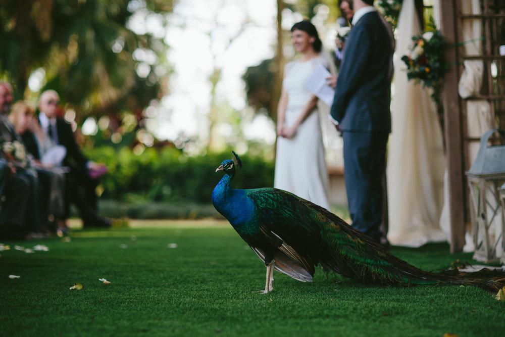 peacock-wedding-guest-flamingo-gardens-tiny-house-photo.jpg