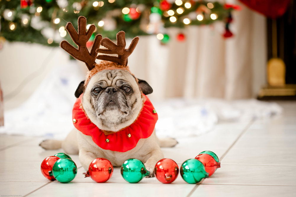 pug with reindeer antlers surrounded by christmas ornaments
