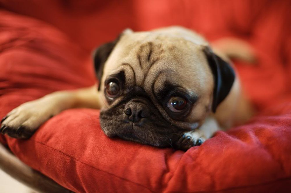 adorable baby pug resting on a red couch looking very smooshy
