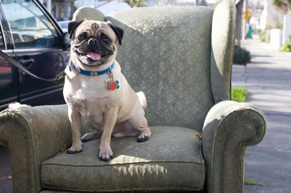 pug sitting on an armchair in the middle of the street in oakland, california