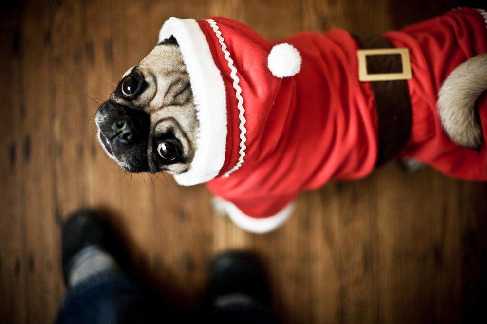 santa_paws_pug_santa.jpg