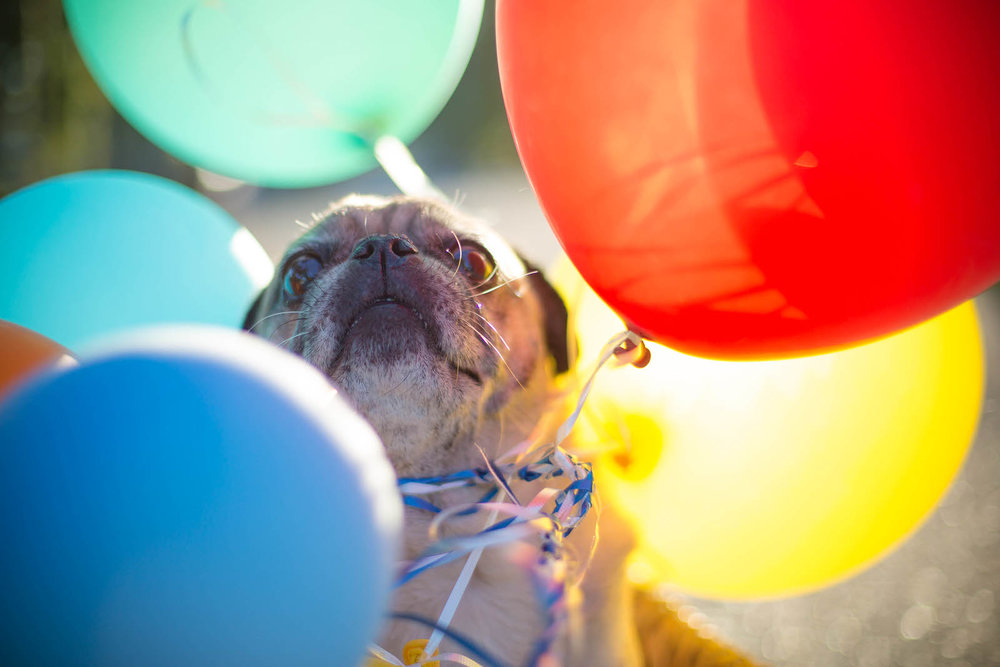 happy_birthday_pug.jpg