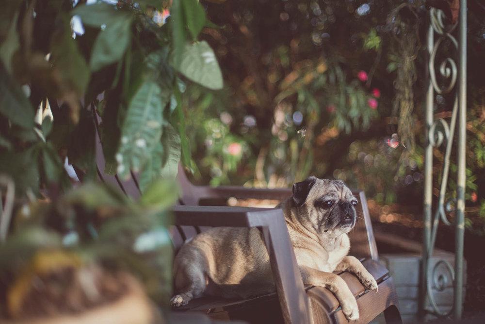 pug_garden_relaxation.jpg