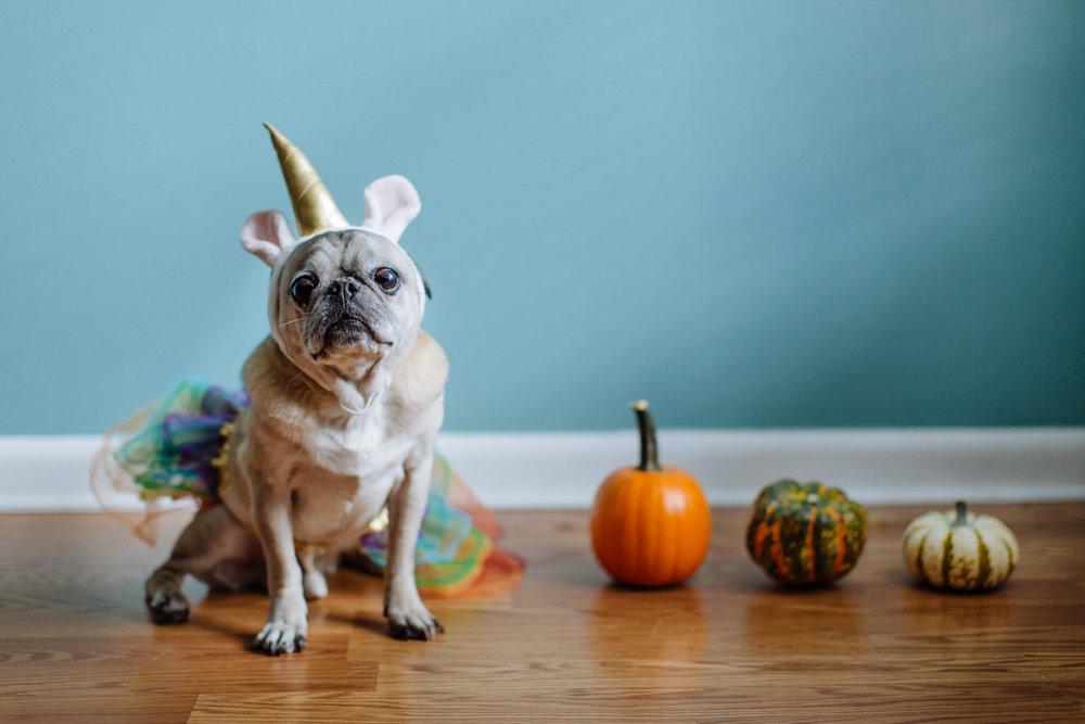 miyagi_unicorn_pug_halloween.jpg