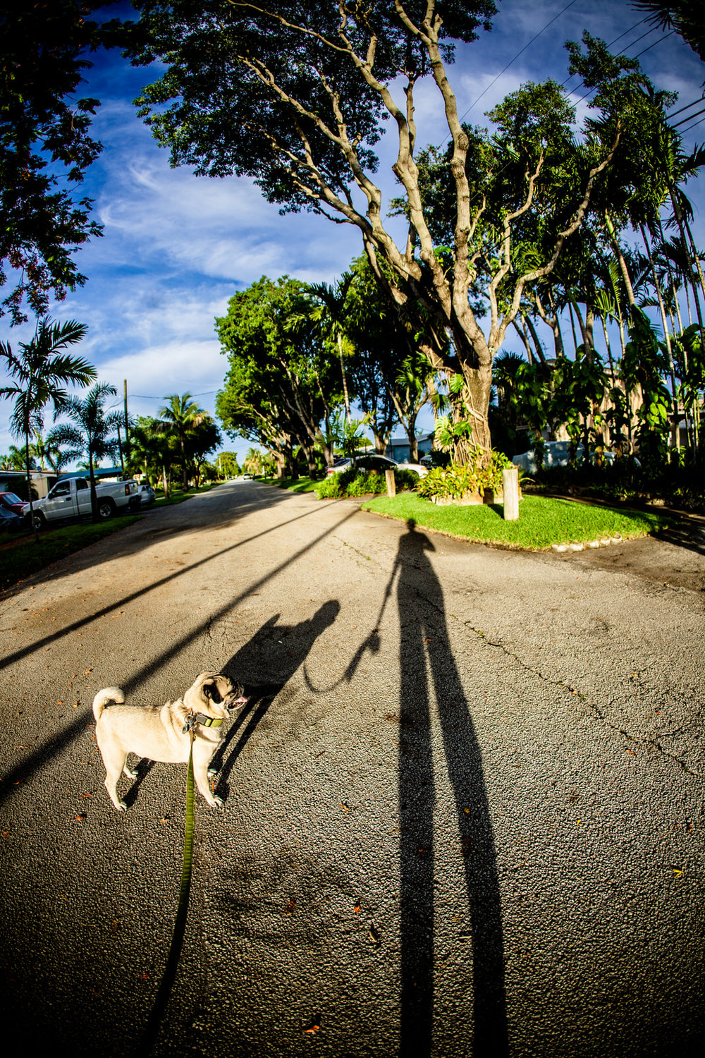 pug_shadow_trees_beautiful_day_florida.jpg