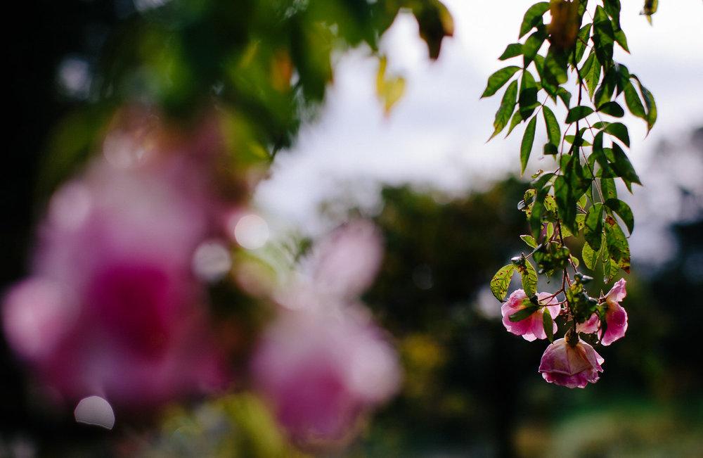 morcom_municipal_rose_garden_oakland_california