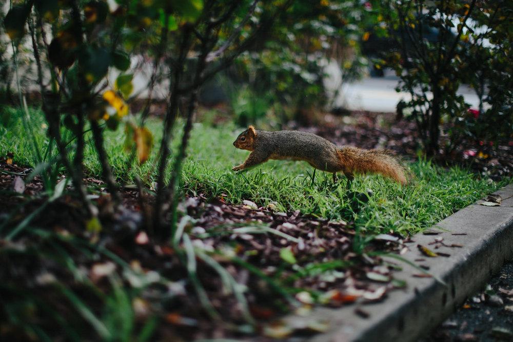 squirrel_jumping_morcom_rose_garden_nature_oakland_photographer