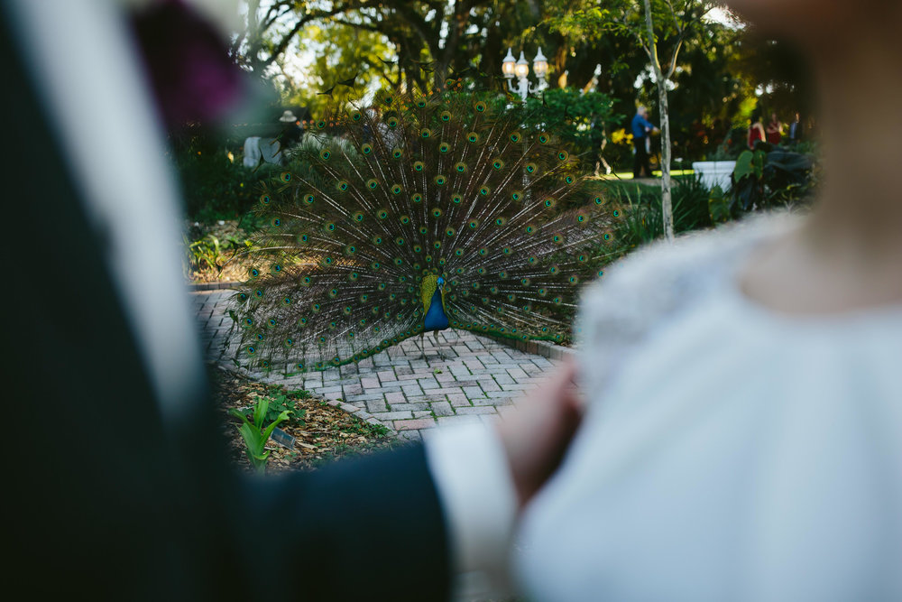 peacock showed up to a wedding celebration at flamingo gardens in south florida