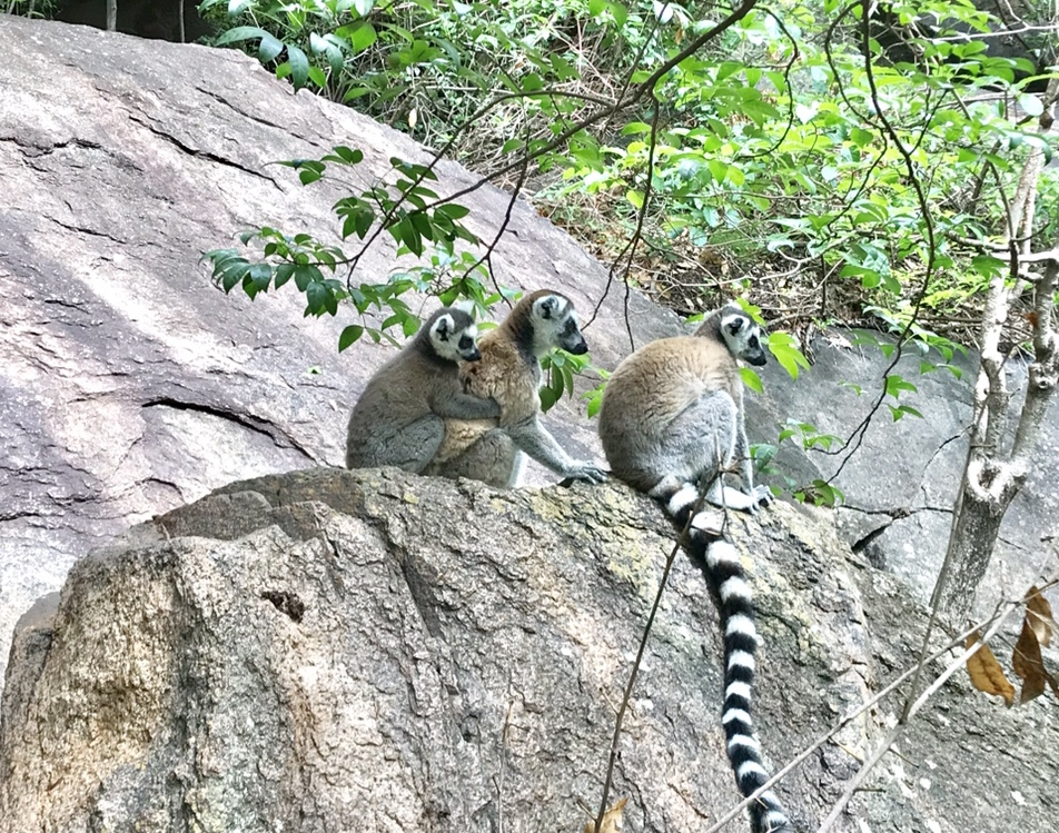 we found some lemurs in Madagascar