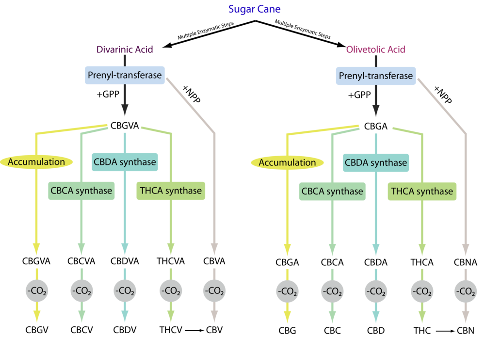 Librede Modular Cannabinoids from Sugar.png