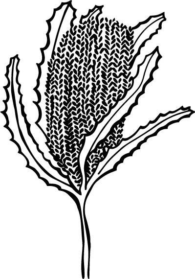 The Little Banksia