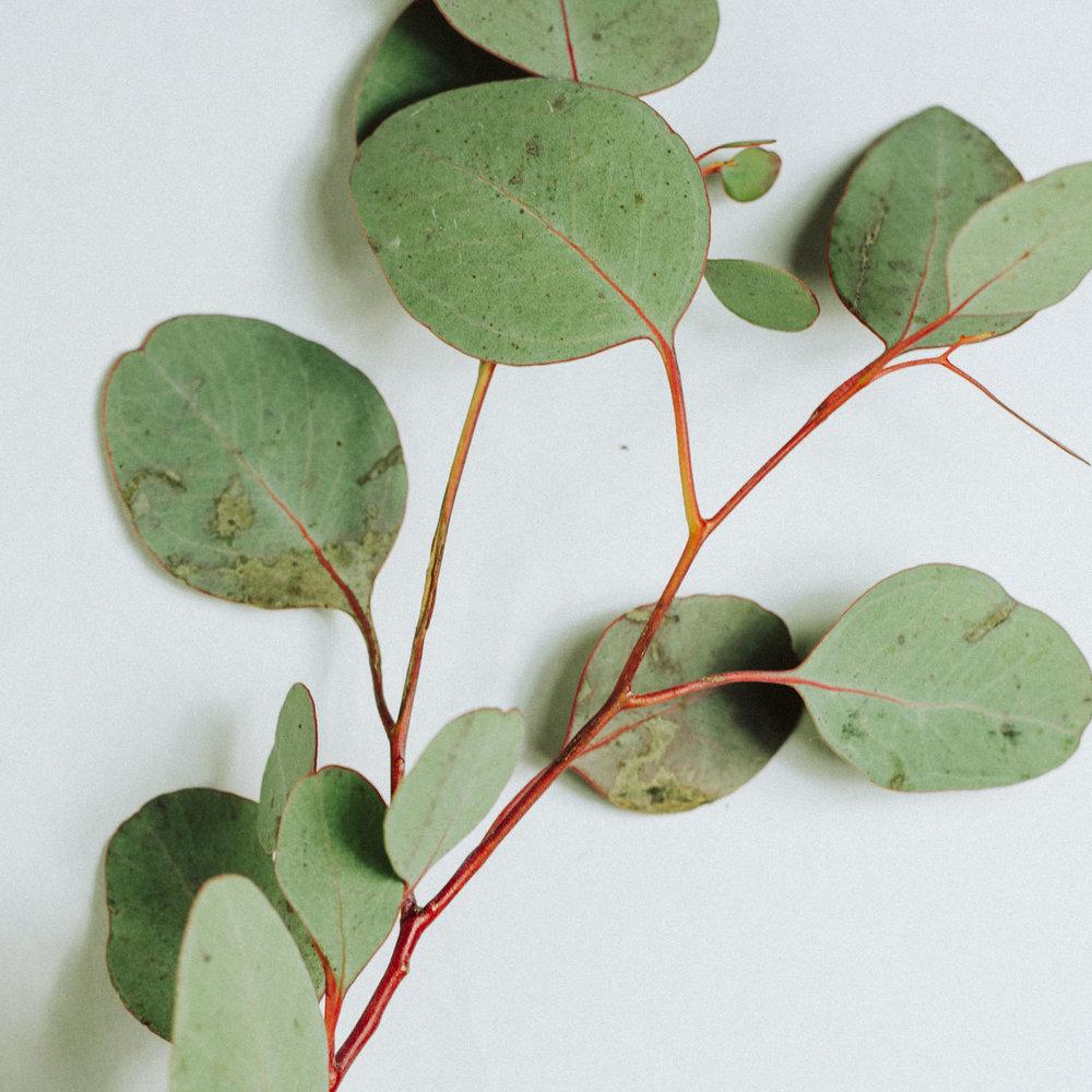 eucalyptus_branch.jpg