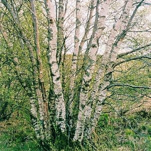 Downy Birch - Suitable for wet sites, windfirm, frost hardy and exposure tolerant. Beautiful white bark in young trees. Not as pendulous habit as Silver Birch (Bet. Pendula). A true pioneer species.