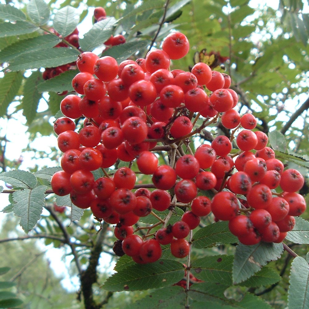 Rowan - A small attractive woodland edge tree with high conservation value. Bright red fruits attract migrant birds.