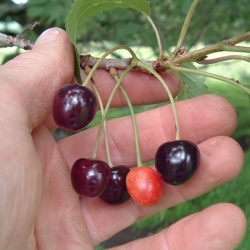 Gean (wild cherry) - Likes fertile soils, frost hardy but not high exposure tolerant. White flowers in the spring, edible red/black cherries in summer. Large tree with fine timber.