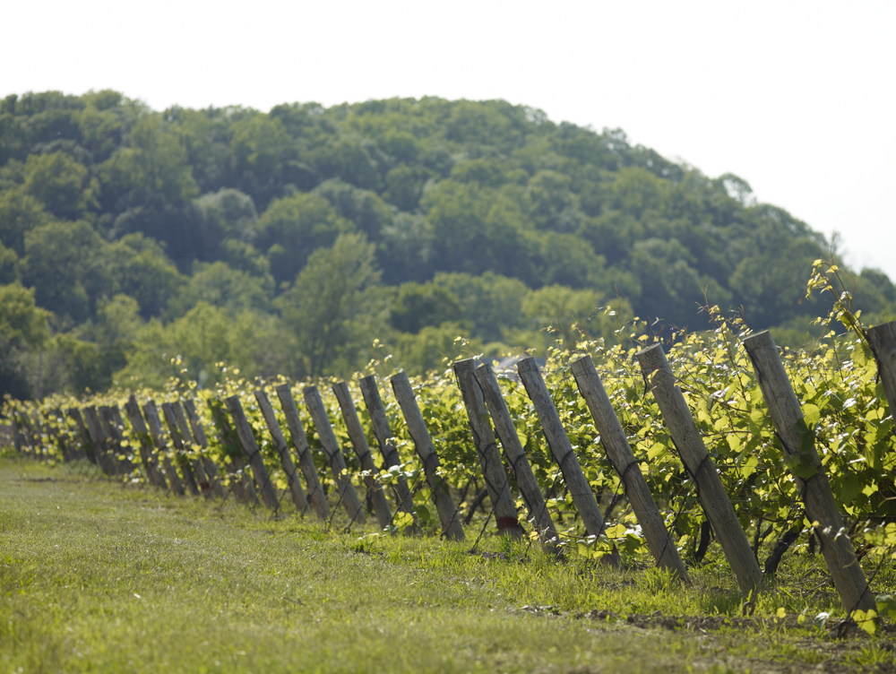 Vineyard at Henry of Pelham, Niagara-on-the-Lake