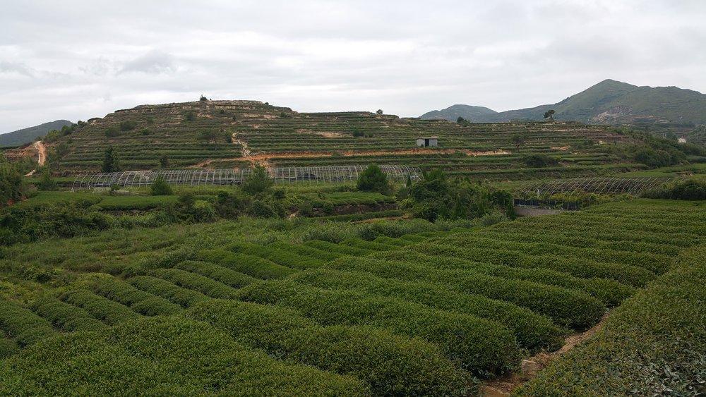 """Tea plantation atop rural mountains"" Xiamen Island, China"