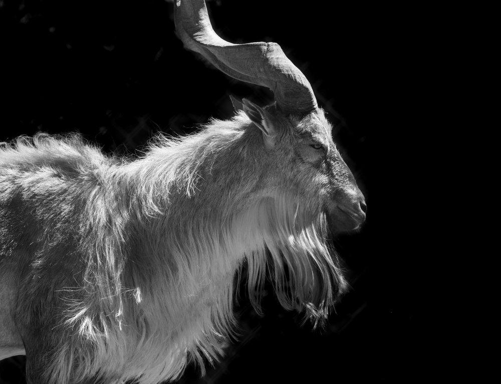 goat 2.0-1.jpg