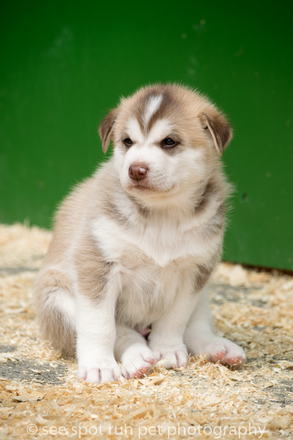 snowy owl sled dog puppy