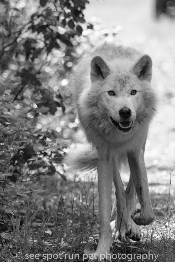 walks with wolves