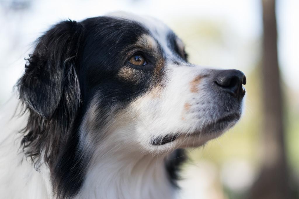 australian shepherd Berkeley