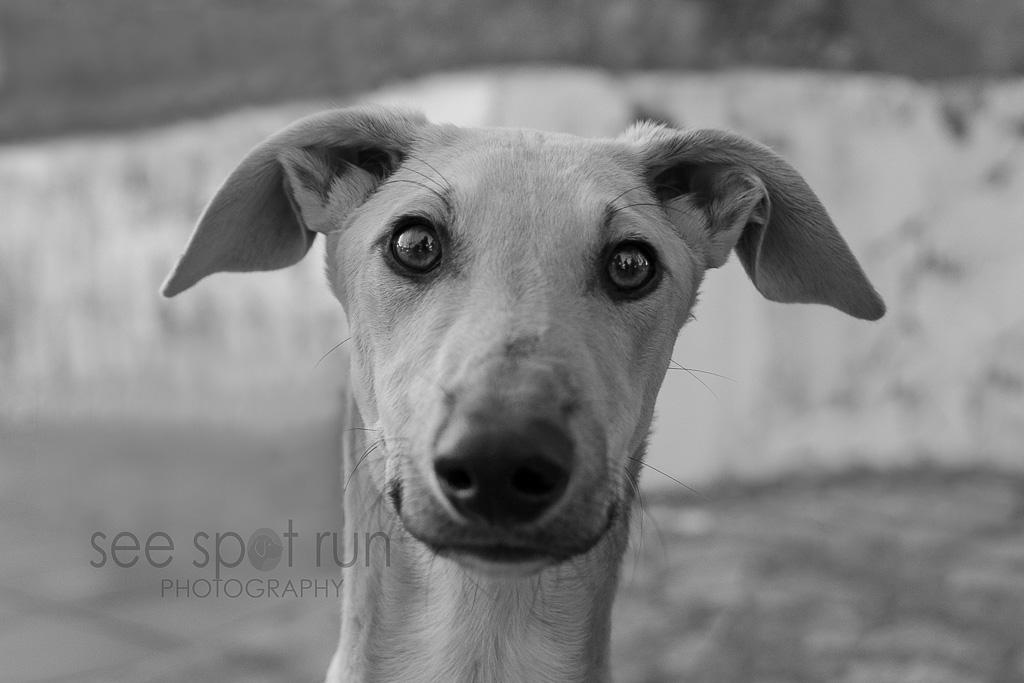 Spanish Galgo in black & white