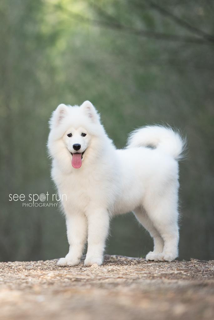 Sasha Samoyed puppy