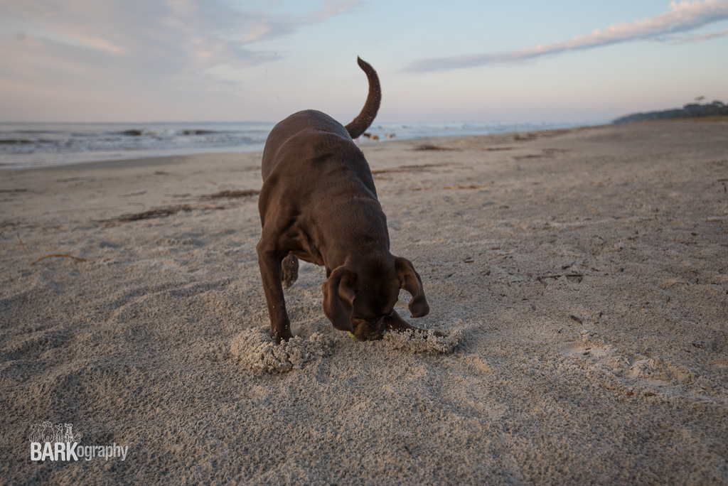 no dog sitter needed when Moose is on the beach