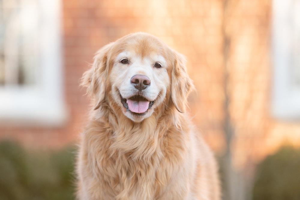 dog sitter golden retriever Charlotte NC