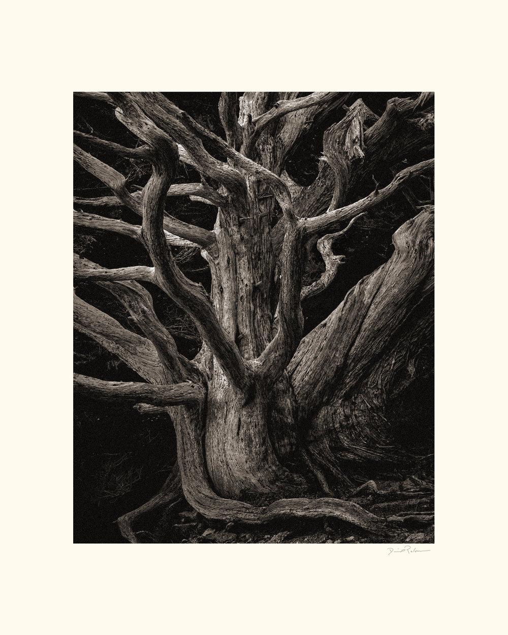 OLD CYPRESS TREE