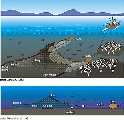 In the North Pacific Halibut fishing areas, juvenile Halibut habitat are increasingly bottom trawled and there is growing concern that excessive Halibut (and Salmon)  bycatch  is threatening the long-term sustainability of these and other fisheries such as crab.  The bottom trawl fishing practices are decreasing food security, and are negatively affecting the livelihoods of fishermen world-wide and particularly those of Seattle's Home Port fishing community.