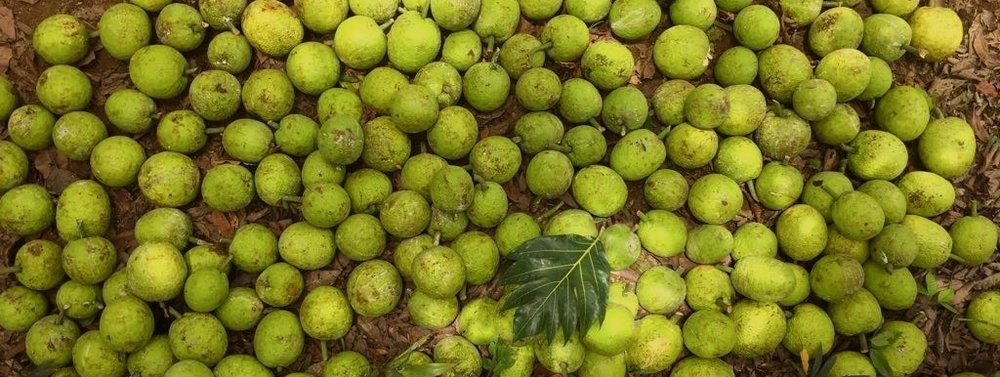 Jungle PROJECT - Developing the supply chain, literally from the ground up, we plant breadfruit trees with small farmers in Costa Rica and manufacture the product in the highest quality facilities possible.