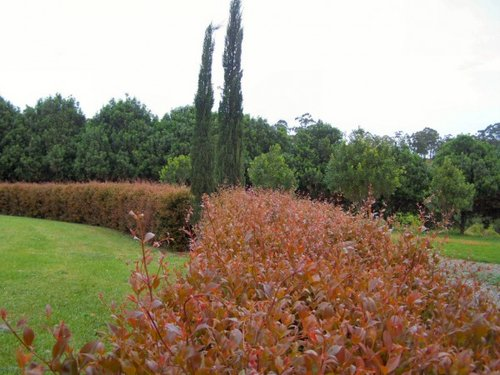 Acmena fire screen   Grows like fire and it's coppery red colour makes it looks like it's on fire. This terrific super fast growing variety of Lilly pilly will reach 4 metres. It's tight in habit so it forms a really compact hedge. Once settled in and formed Fire screen will tolerate periods of dry, it's psyllid resistant and easily pruned to shape. Fire Screen is a colourful bright cheery hedge that will glow in your garden.
